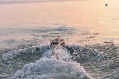 Retrato de la natación blanca del perrito del perro perdiguero en el mar Fotografía de archivo libre de regalías