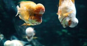 Retrato de la natación de los pescados del cichild del flowerhead en acuario Imagenes de archivo
