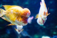 Retrato de la natación de los pescados del cichild del flowerhead en acuario Fotos de archivo libres de regalías