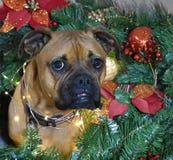 Retrato de la Navidad del perro de la raza del boxeador Imagen de archivo libre de regalías