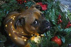 Retrato de la Navidad del perro de la raza del boxeador Fotografía de archivo libre de regalías
