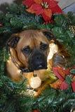 Retrato de la Navidad del perro de la raza del boxeador Foto de archivo libre de regalías