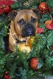 Retrato de la Navidad del perro de la raza del boxeador Foto de archivo