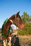 Retrato de la Navidad de un caballo Imagenes de archivo