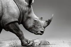 Retrato de la opinión del rinoceronte del ángulo bajo fotografía de archivo