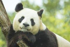 Retrato de la panda Imagen de archivo libre de regalías