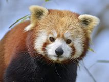 Retrato de la panda roja imagenes de archivo