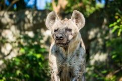 Retrato de la parte delantera de la hiena astuta Fotografía de archivo libre de regalías