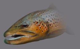 Retrato de la pesca con mosca de la trucha de Brown Foto de archivo libre de regalías