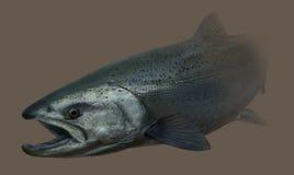 Retrato de la pesca con mosca de la trucha de mar Fotografía de archivo