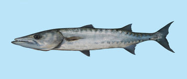 Retrato de la pesca de la barracuda Imagen de archivo libre de regalías