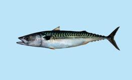 Retrato de la pesca de la caballa Imagenes de archivo