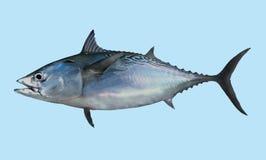 Retrato de la pesca de los pequeños atunes (albacora falsa) Imagenes de archivo