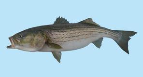 Retrato de la pesca de lubina rayada Fotos de archivo