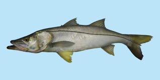 Retrato de la pesca de Snook Imágenes de archivo libres de regalías