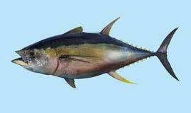 Retrato de la pesca del atún de trucha salmonada Imagenes de archivo