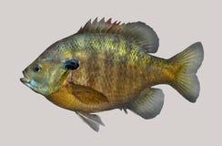 Retrato de la pesca del Lepomis macrochirus Foto de archivo libre de regalías