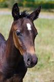 Retrato de la pista de un caballo joven Imagen de archivo libre de regalías