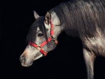 Retrato de la potra árabe joven aislada en el negro Imagen de archivo