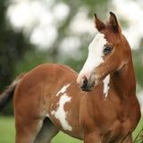 Retrato de la potra agradable del caballo de la pintura con el ojo azul Fotografía de archivo