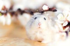 Retrato de la primavera del hámster de Jungar Fotografía de archivo libre de regalías