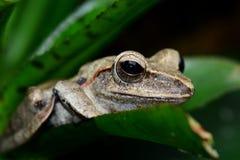 Retrato de la rana arbórea Fotografía de archivo