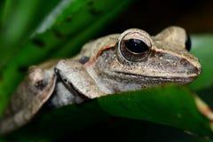 Retrato de la rana arbórea Imágenes de archivo libres de regalías