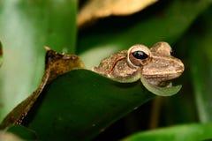 Retrato de la rana arbórea Foto de archivo libre de regalías