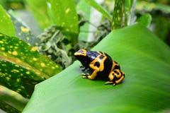 Retrato de la rana del dardo del veneno Fotografía de archivo