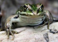 Retrato de la rana mugidora Imagen de archivo