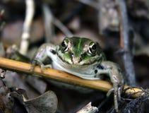 Retrato de la rana mugidora Fotografía de archivo