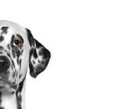 Retrato de la raza dálmata del perro Fondo blanco Imágenes de archivo libres de regalías