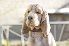 Retrato de la raza del perro de Cocker Spaniel foto de archivo