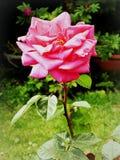 Retrato de la rosa del rosa Foto de archivo