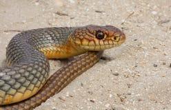 Retrato de la serpiente Imagen de archivo