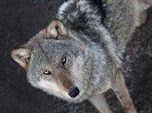 Retrato de la situación del lobo gris Fotografía de archivo libre de regalías