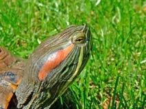 Retrato de la tortuga Fotos de archivo