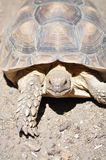 Retrato de la tortuga Fotografía de archivo
