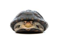 Retrato de la tortuga en fondo gris Fotos de archivo