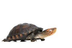 Retrato de la tortuga en fondo gris Imagen de archivo