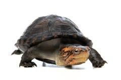 Retrato de la tortuga en fondo gris Foto de archivo libre de regalías