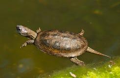 Retrato de la tortuga europea de la charca - orbicularis de los orbicularis de Emys Fotos de archivo