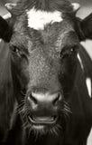 Retrato de la vaca Imagen de archivo libre de regalías