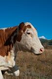 Retrato de la vaca alpestre imagen de archivo