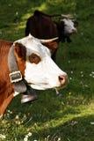 Retrato de la vaca alpestre con la alarma foto de archivo