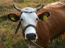 Retrato de la vaca con las etiquetas amarillas Fotografía de archivo libre de regalías