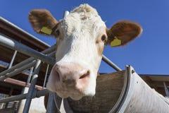 Retrato de la vaca contra el cielo azul Imagen de archivo libre de regalías