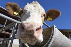 Retrato de la vaca contra el cielo azul Fotos de archivo
