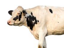 Retrato de la vaca en fondo blanco aislado fotografía de archivo libre de regalías