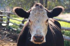 Retrato de la vaca imagenes de archivo